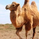 带着骆驼去陆游